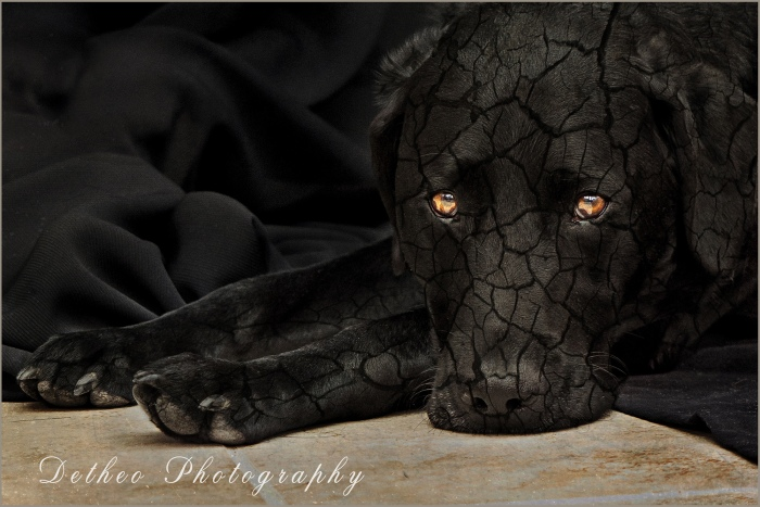 Black Labrador, Award Winning  Pet Photography,  Detheo Photography