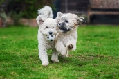 Specialist Pet Photography Session for Bichon puppies, captured by Detheo Photography