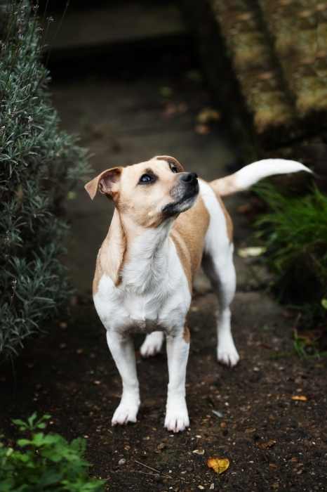 Specialist Pet Photography Session for Jack Russell Terrier by Detheo Photography