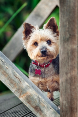 Specialist Pet Photography for Yorkshire Terrier Dog, Gus by Detheo Photography