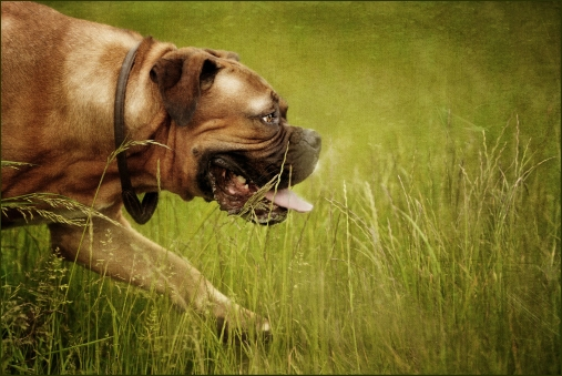 Specialist Pet Photography Session for Dogue de Bordeaux X Boxer dog by Detheo Photography