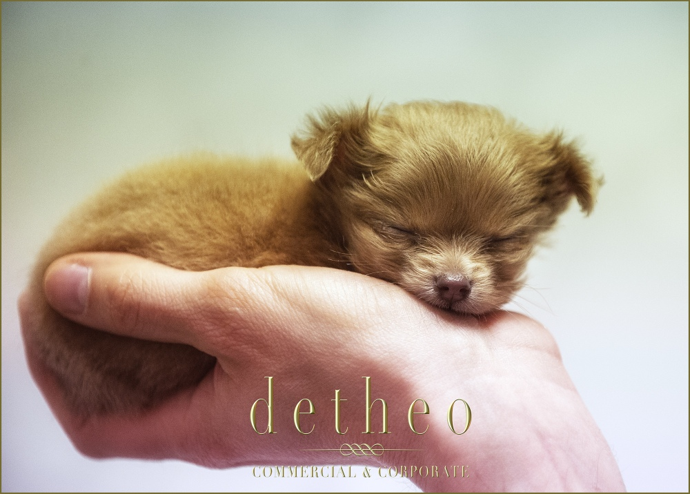 A tiny, premature puppy hand reared by staff. Captured by Detheo Photography