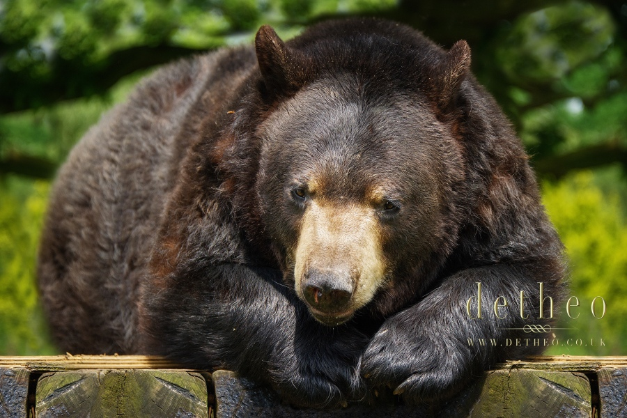Photograph of Brown Bear at Woburn Safari Park. Captured by Photographer Detheo Photography.