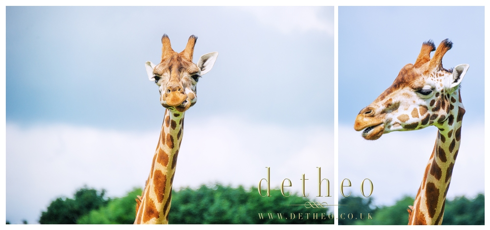Photograph of Giraffes at Woburn Safari Park. Captured by Photographer Detheo Photography.