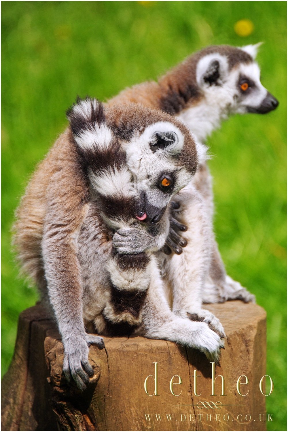 Photograph of Lemurs at Woburn Safari Park. Captured by Photographer Detheo Photography.