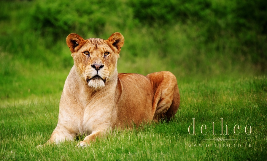 Photograph of Lioness at Woburn Safari Park. Captured by Photographer Detheo Photography.