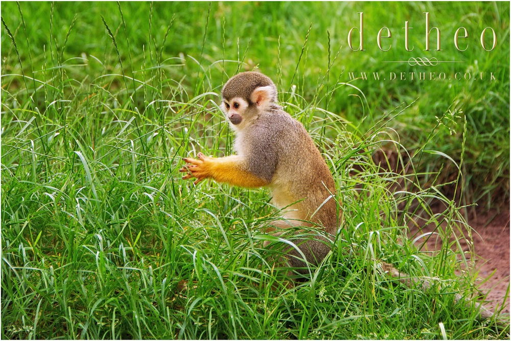 Photograph of Monkey at Woburn Safari Park. Captured by Photographer Detheo Photography.